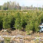 Tree Farm Sirola