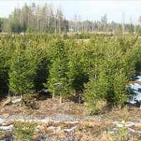 Tree Farm Sirola